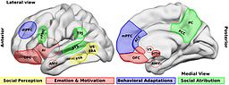 Brain_areas_that_participate_in_social_processing
